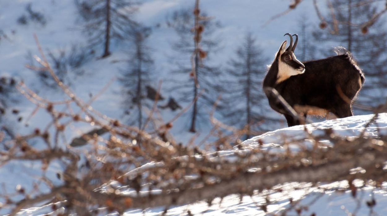 The residents of the Gran Paradiso National Park