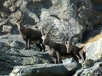 Animals of the Gran Paradiso Park
